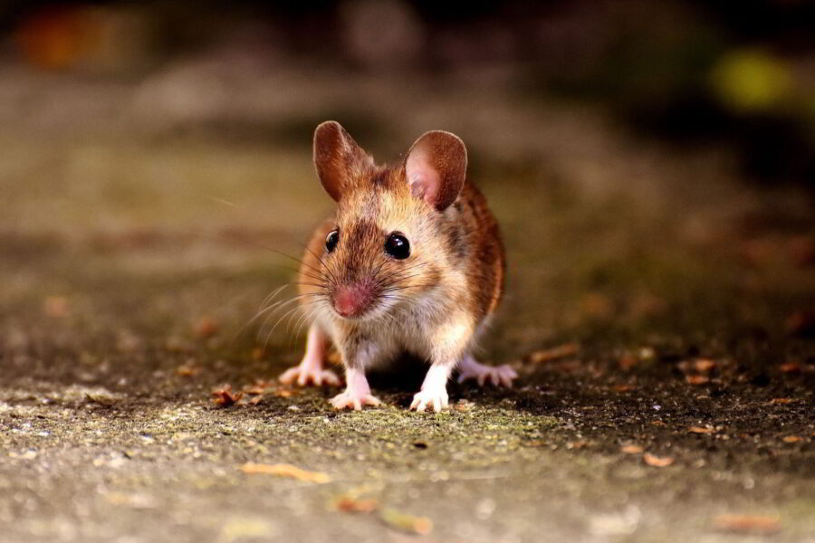 ratones